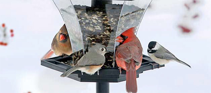 Birds Eating Seed